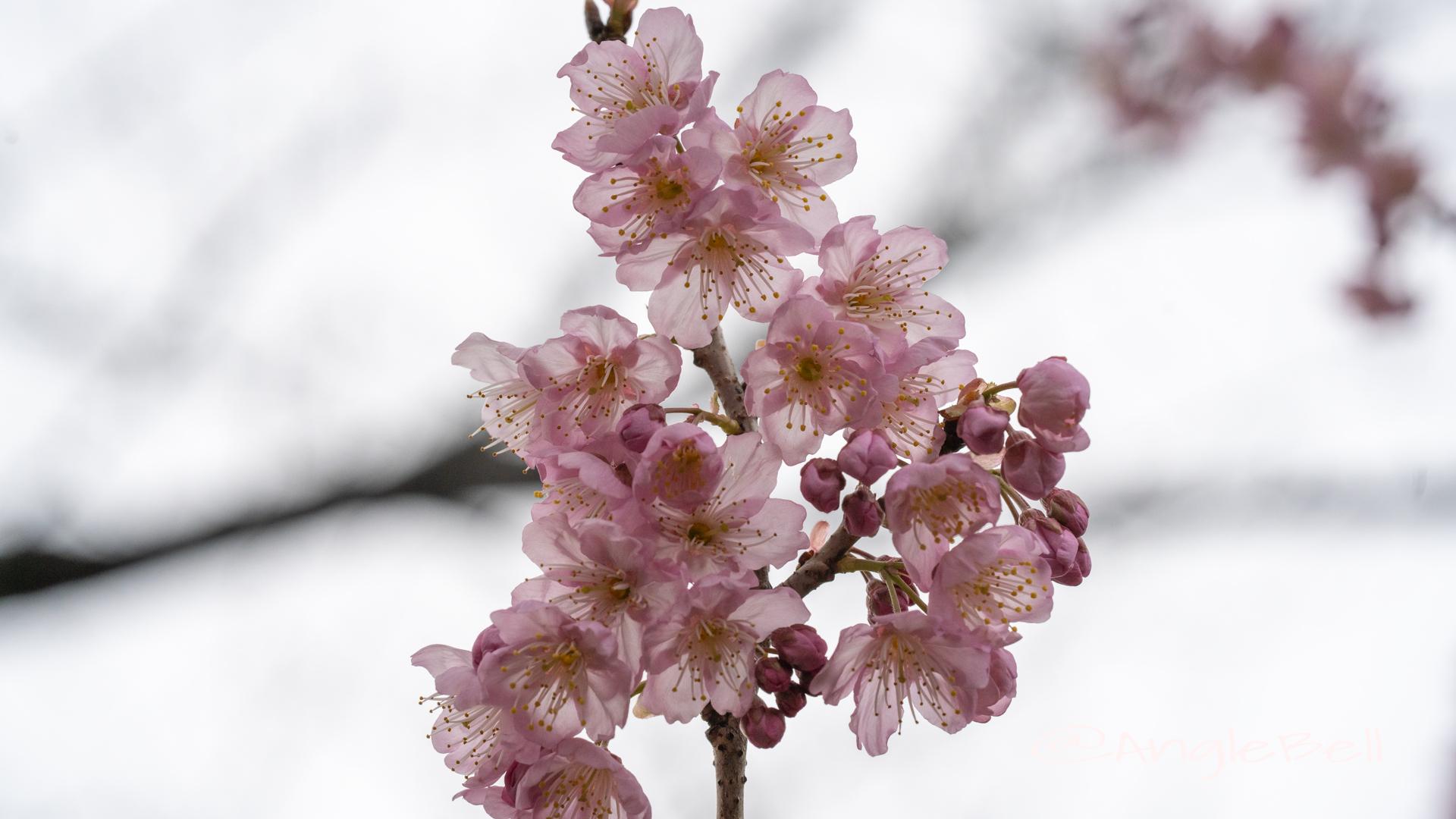 ツバキカンザクラ 椿寒桜Flower Photo2020_3