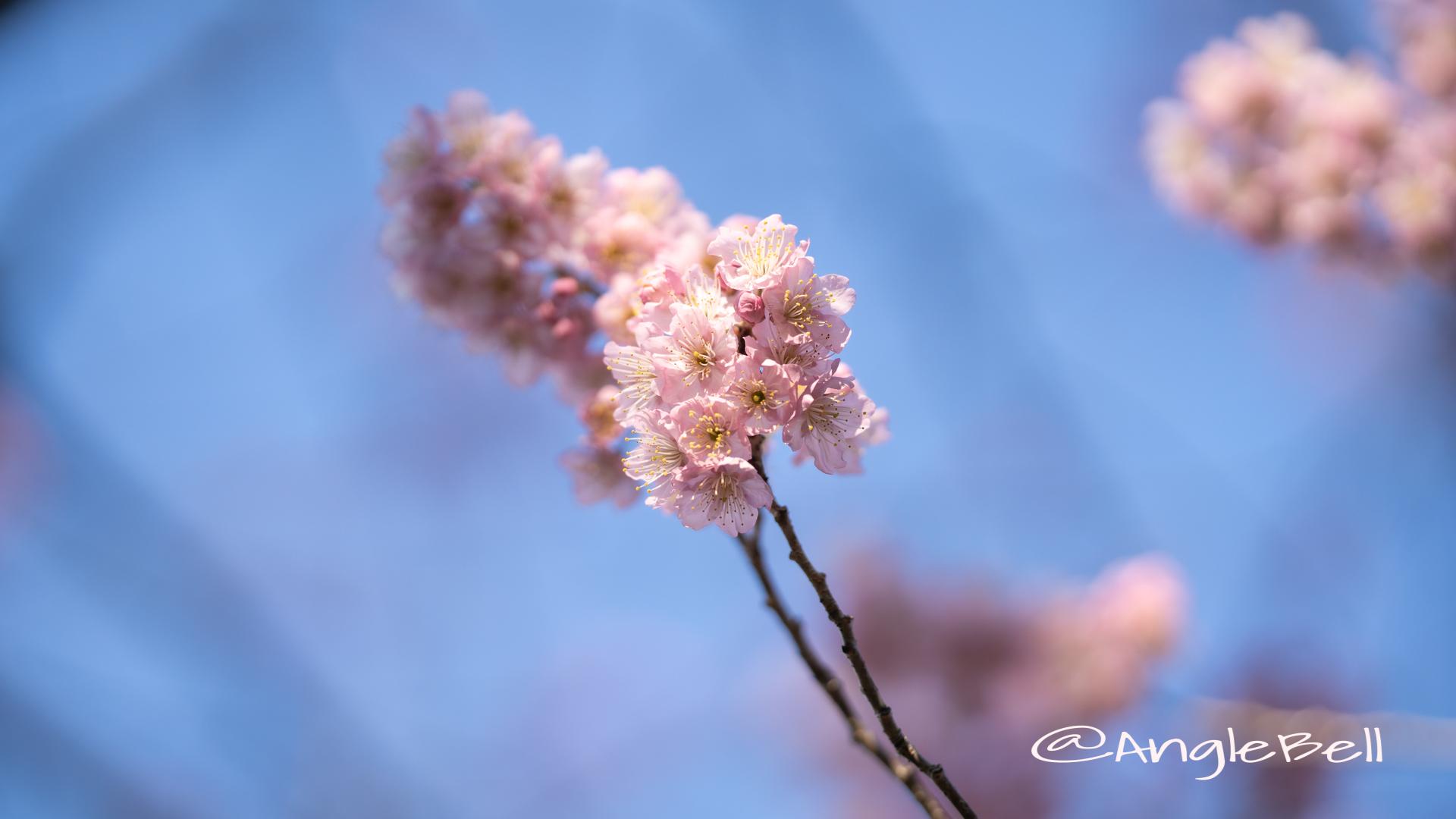 ツバキカンザクラ 椿寒桜Flower Photo2020_2