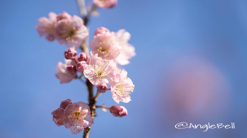 ツバキカンザクラ 椿寒桜Flower Photo2020_1