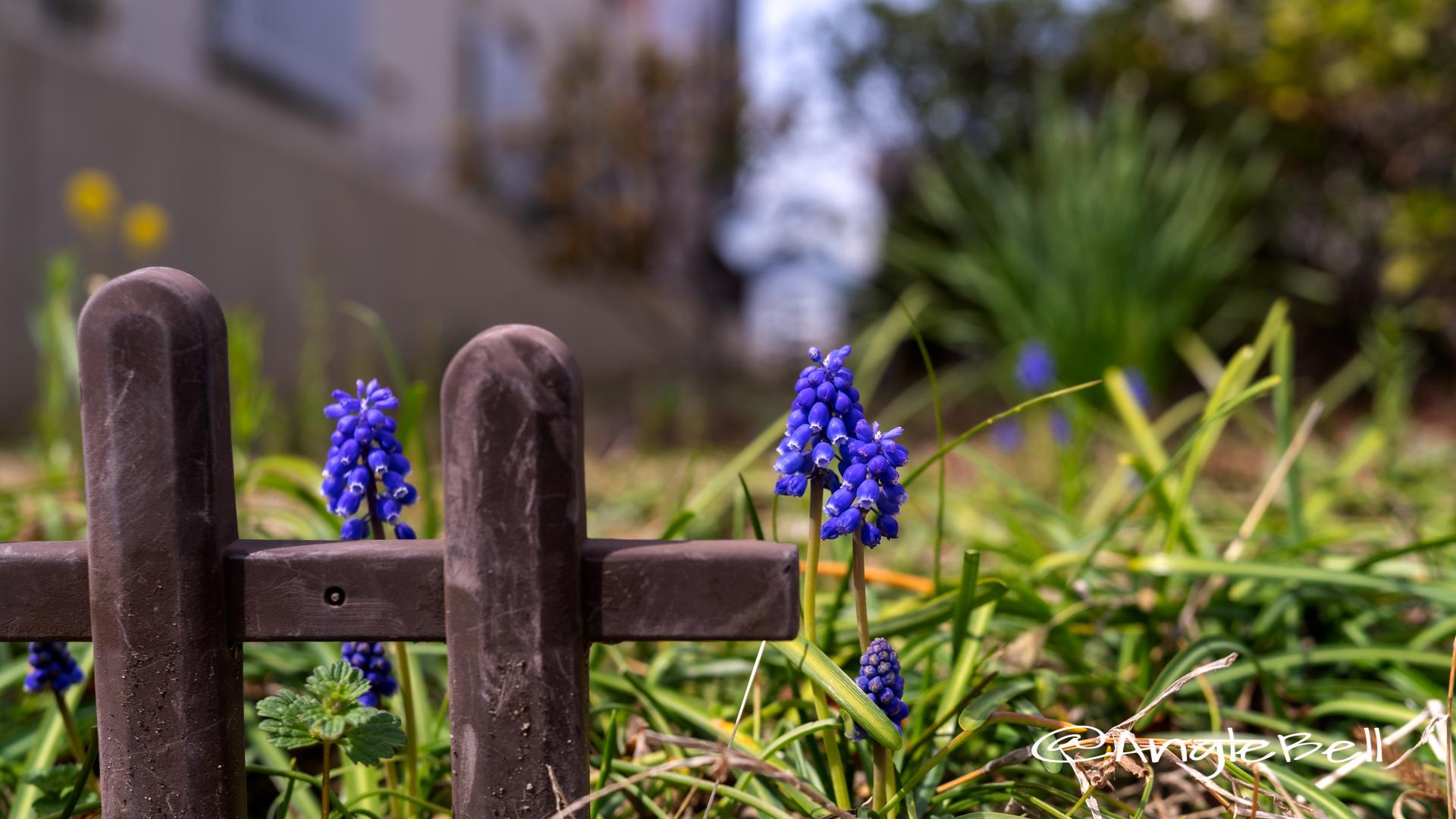 ムスカリ Flower Photo2020_1