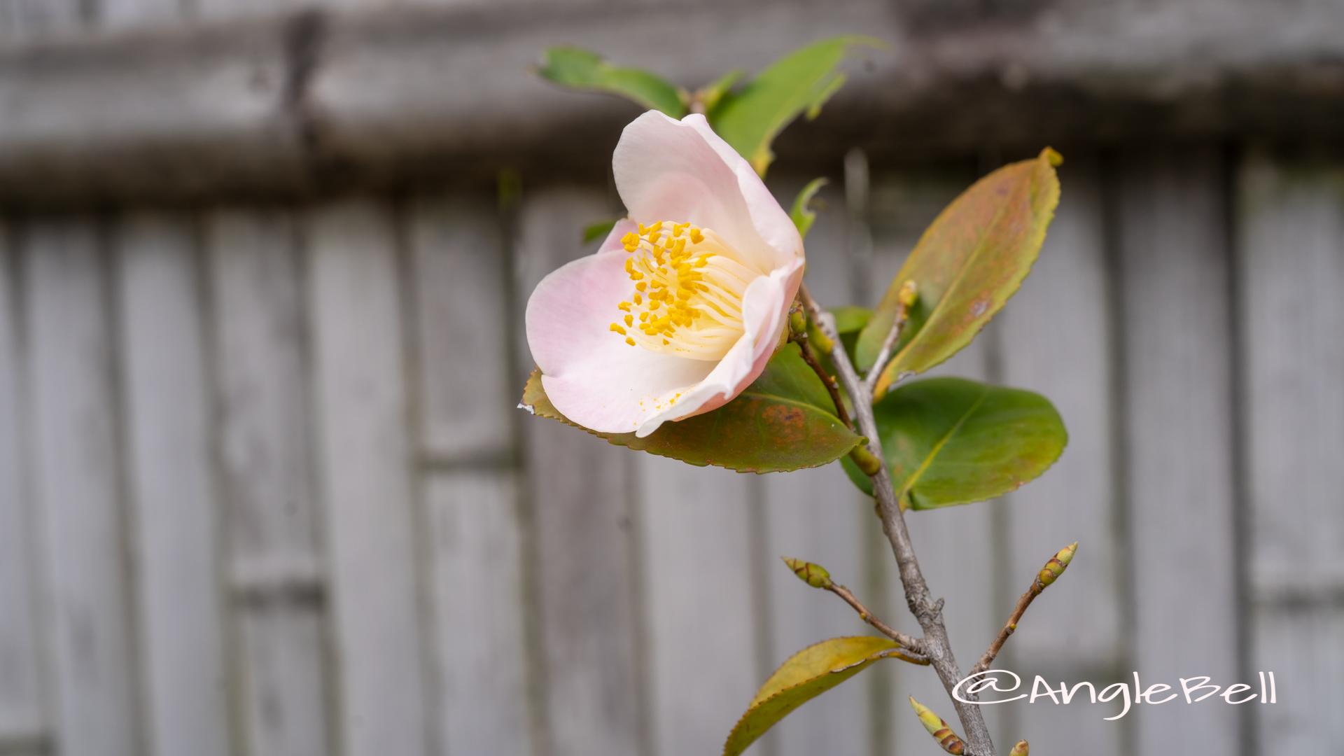 匂い椿 舞姫 (椿) Flower Photo2