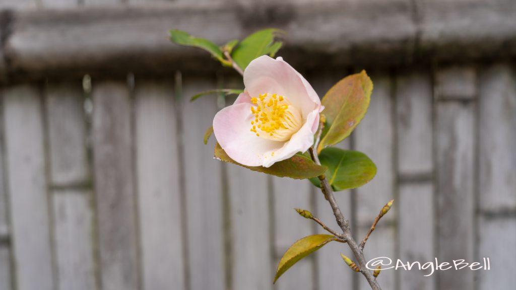 匂い椿 舞姫 (椿) Flower Photo1
