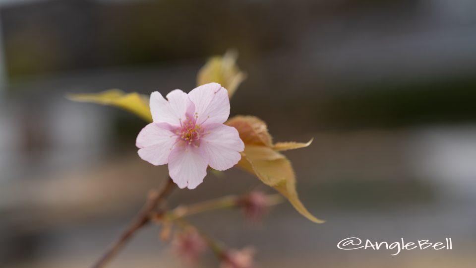 カワヅザクラ 河津桜