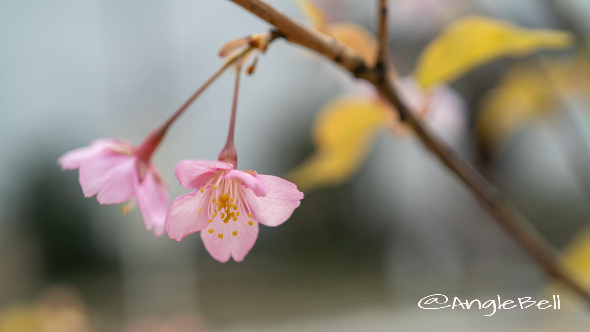 カワヅザクラ 河津桜 Flower Photo2020_4