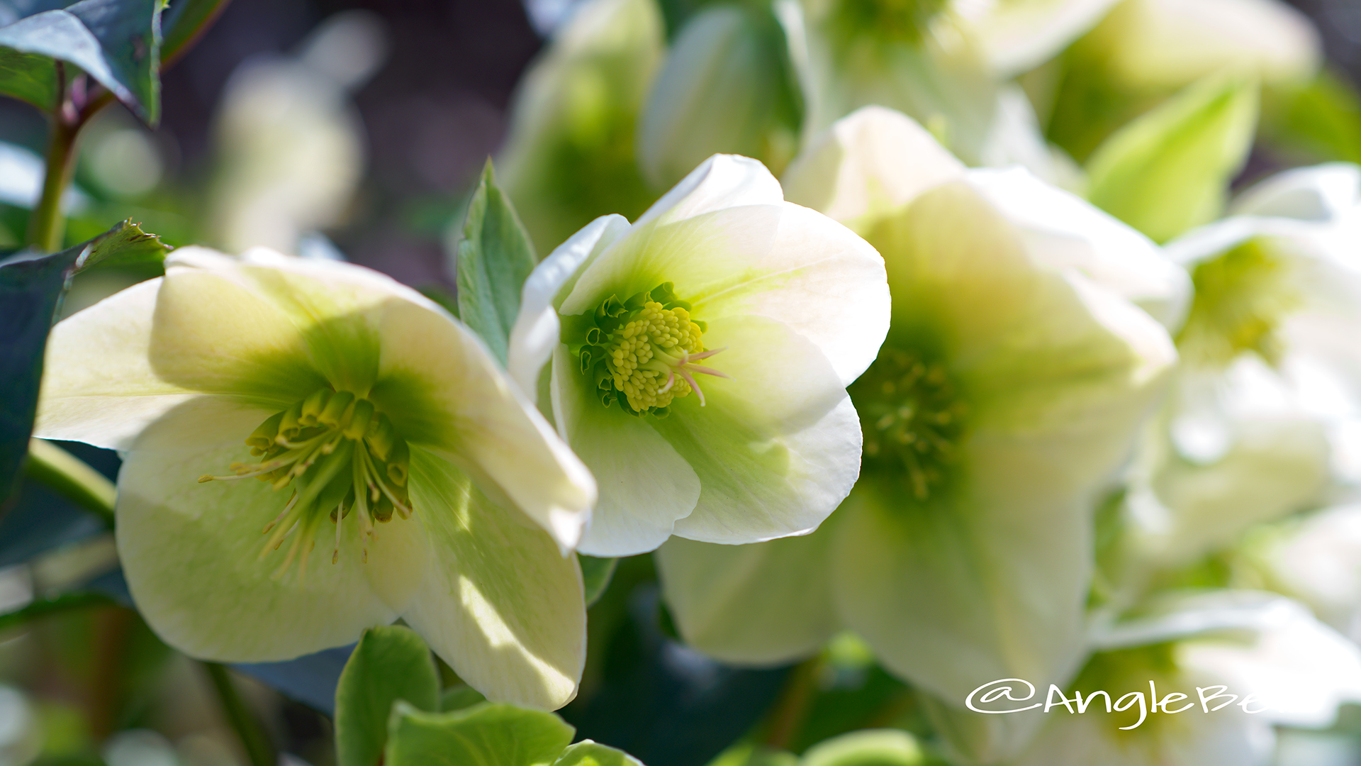 バレンタイングリーン クリスマスローズ Flower Photo1
