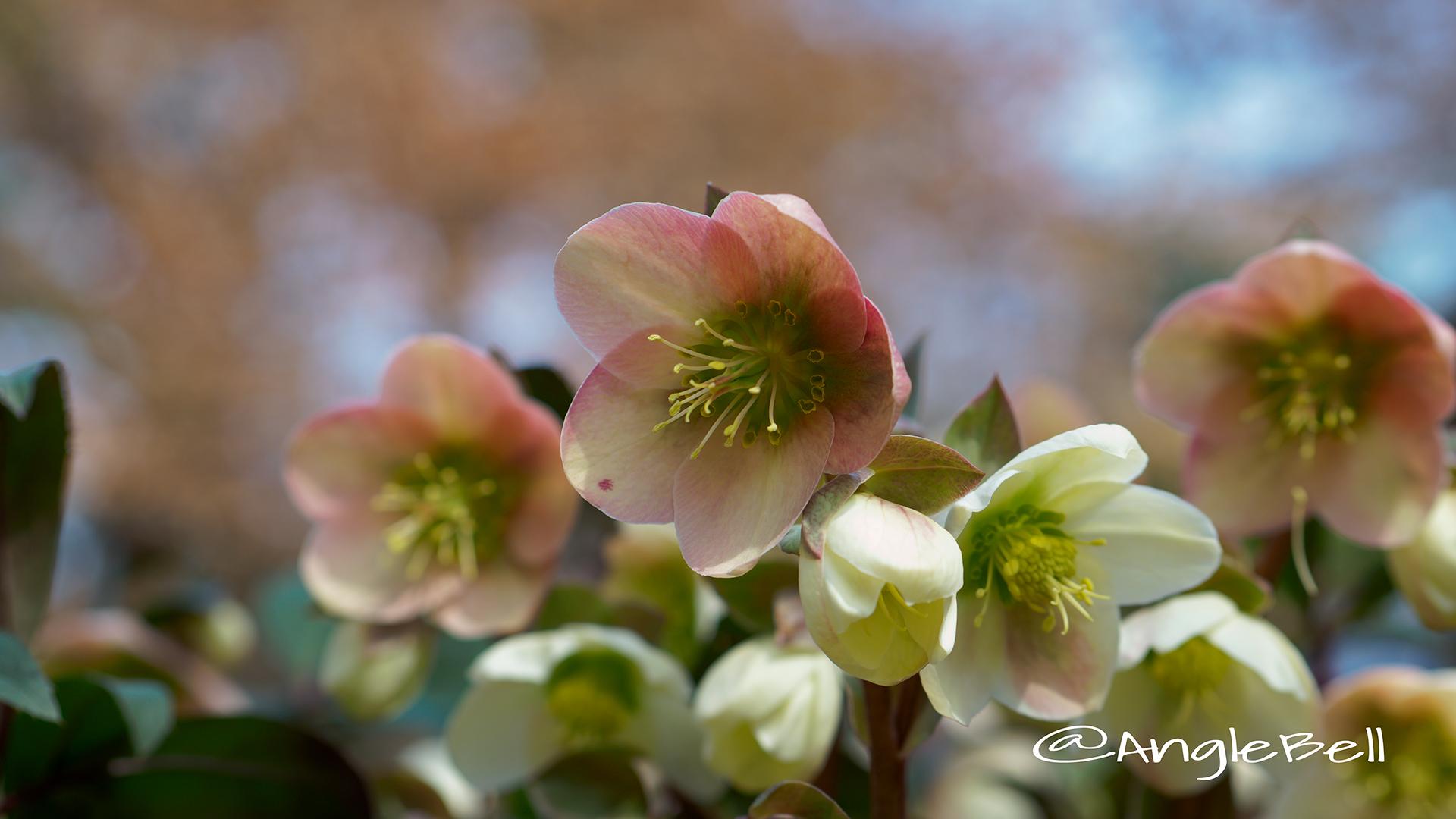 エリックスミシィ クリスマスローズ Flower Photo1