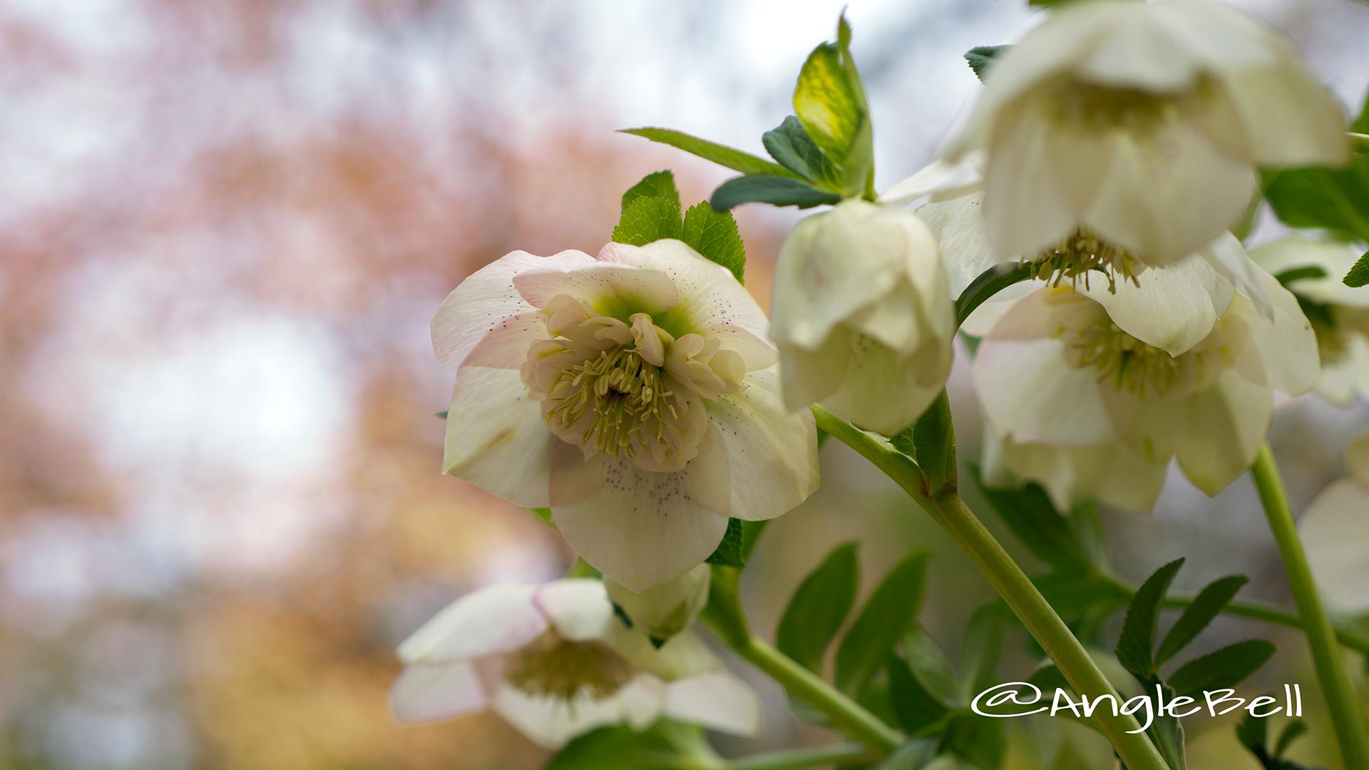 レンテンローズ ホワイト・セミダブル Flower Photo1