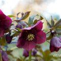レンテンローズ パープル・セミダブル Flower Photo1