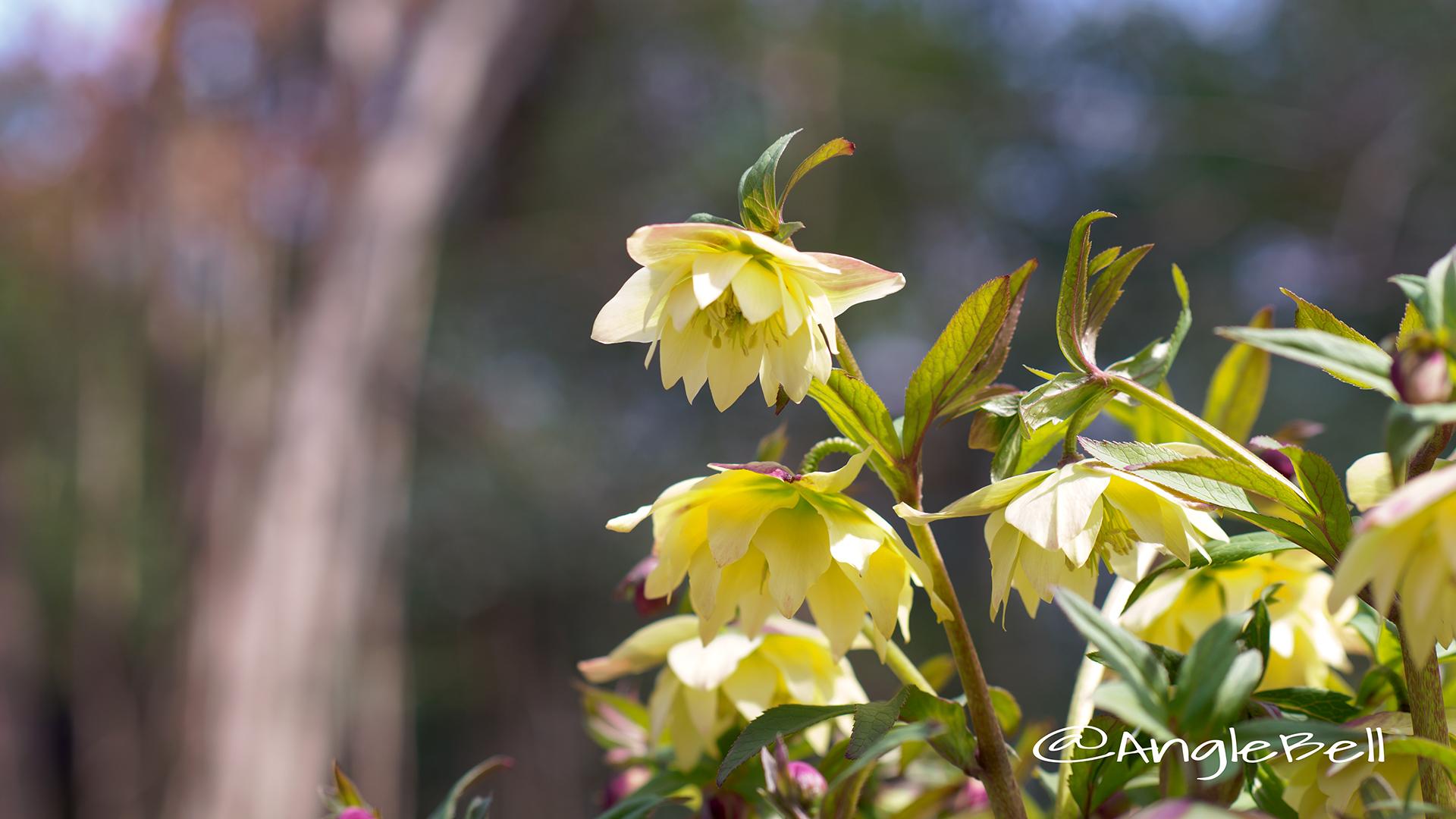 ライム・イエロー クリスマスローズ Flower Photo1