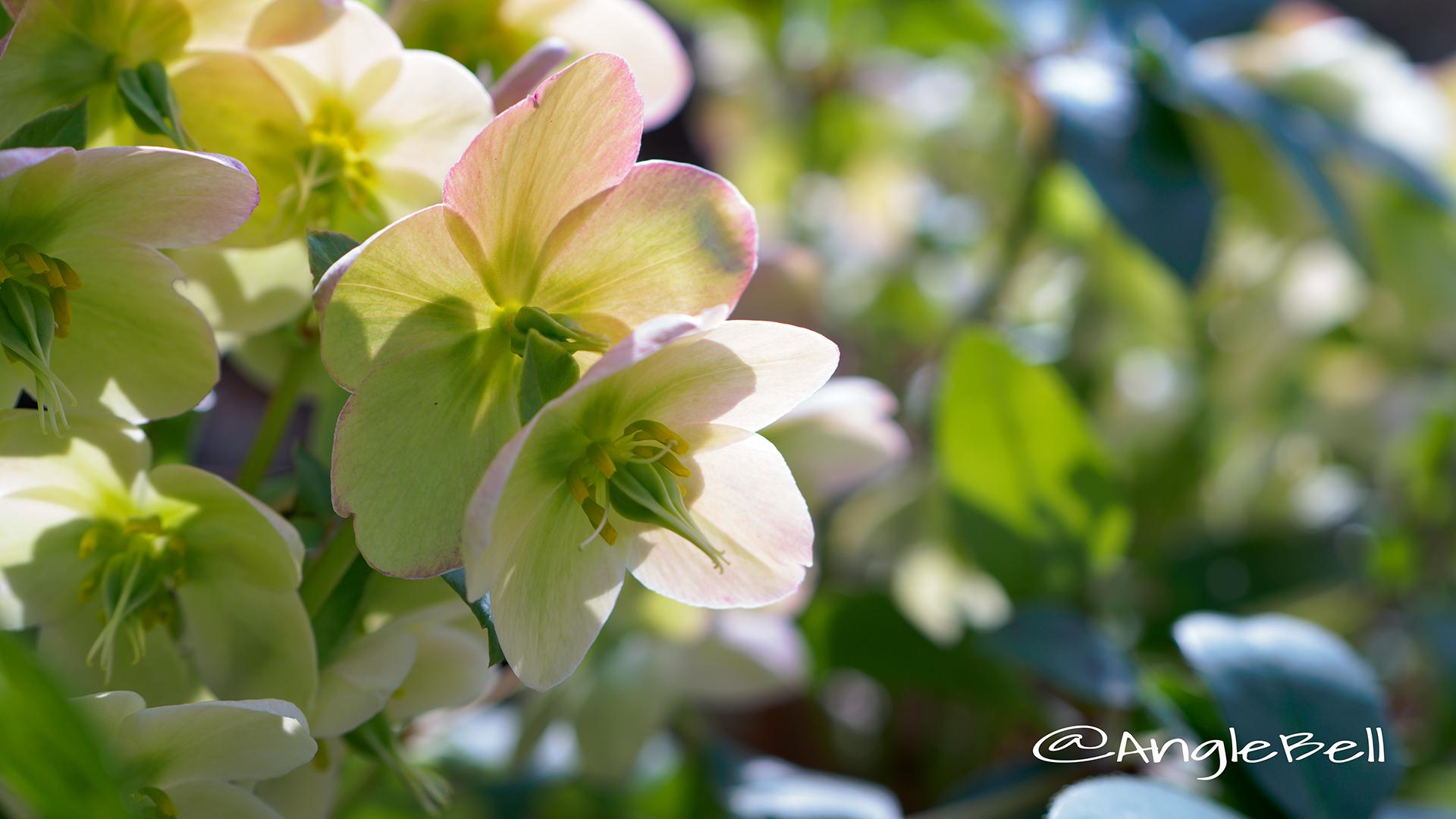 アイス・ブレーカー・マキシー Flower Photo1