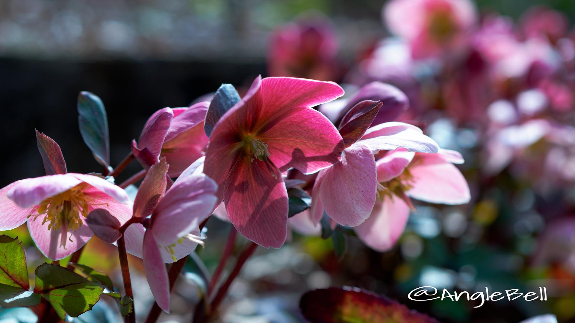 ピンク・フロスト クリスマスローズ Flower Photo1