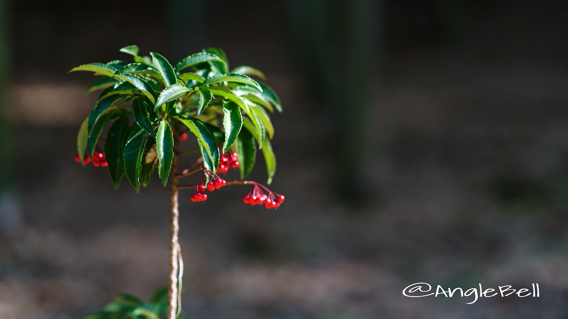 マンリョウ 万両 Flower Photo4
