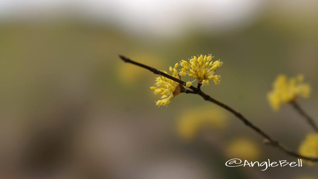 サンシュユ 山茱萸 Flower Photo1