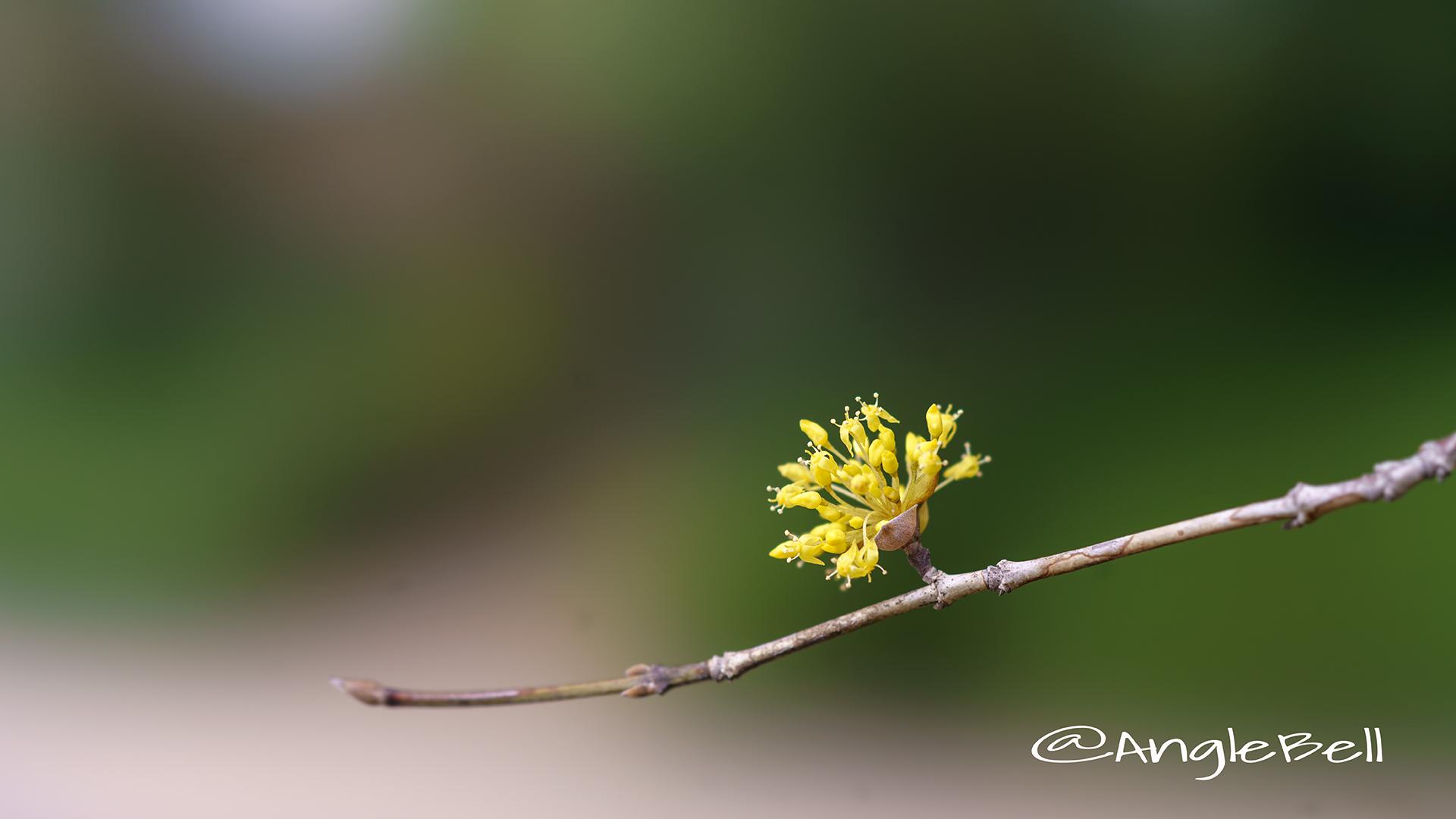 サンシュユ 山茱萸 Flower Photo2