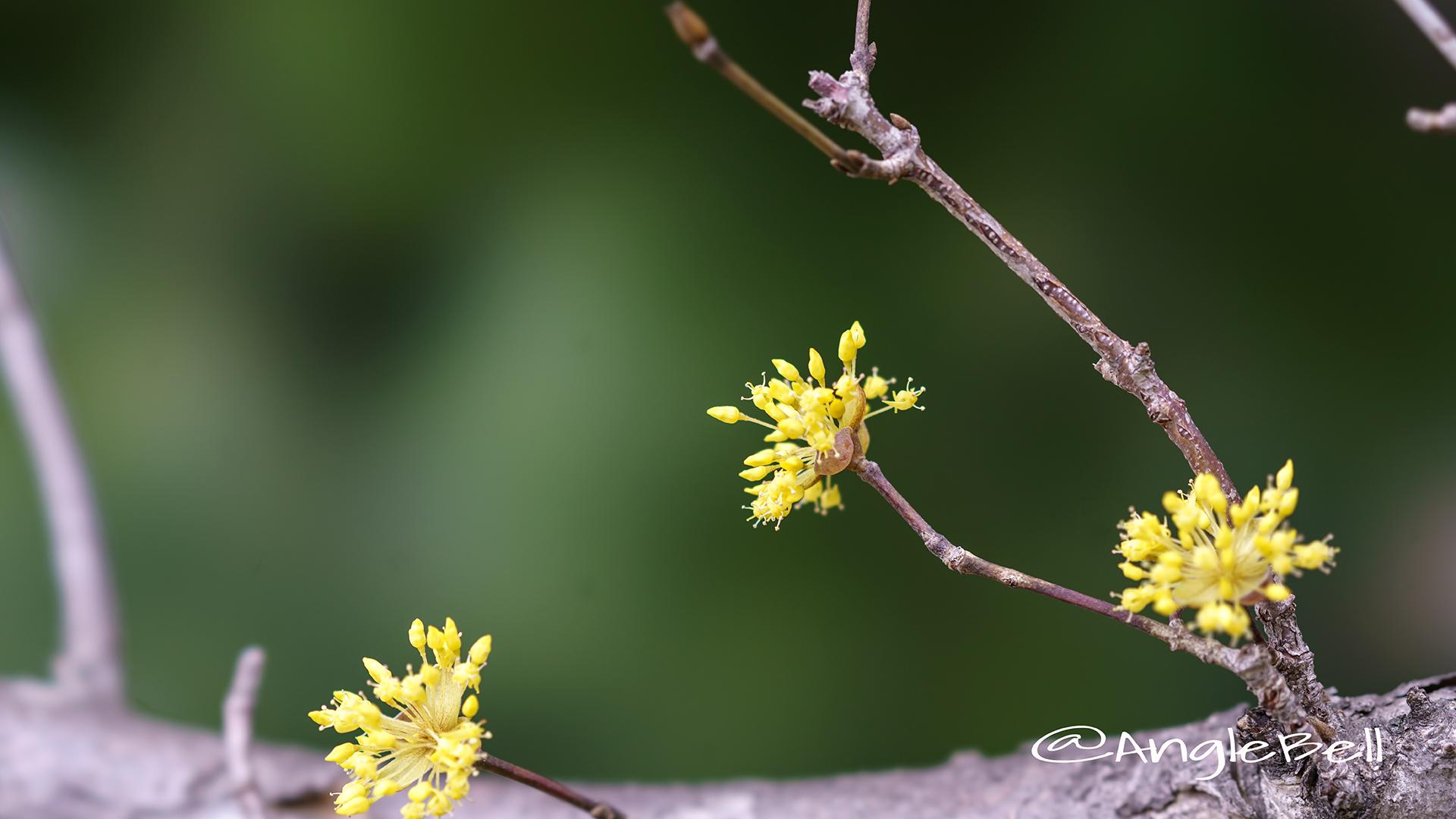 サンシュユ 山茱萸 Flower Photo3