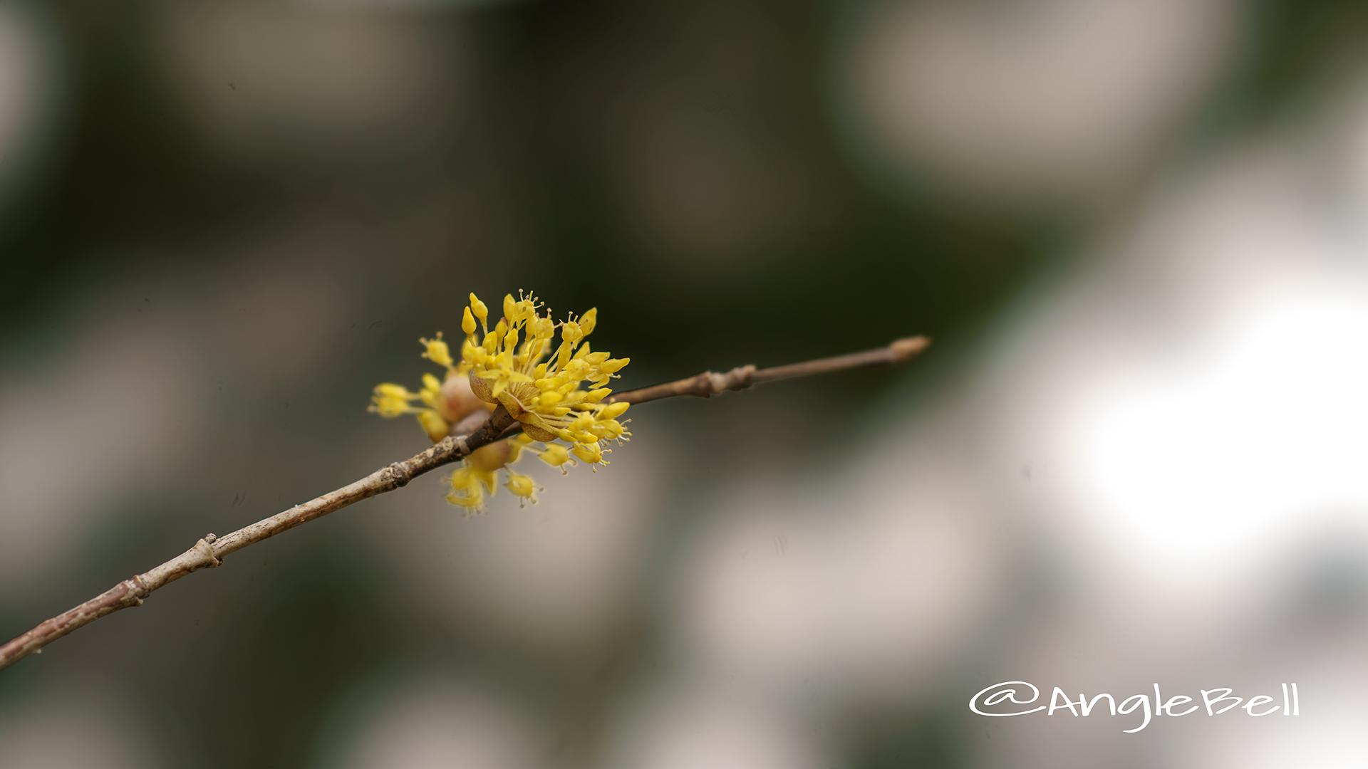 サンシュユ 山茱萸 Flower Photo4