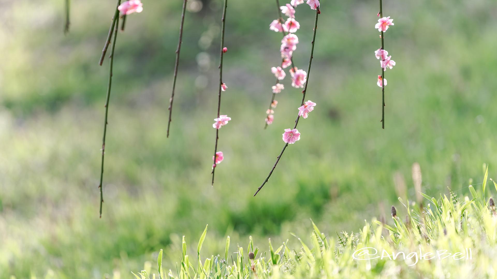 しだれ梅 Flower Photo2