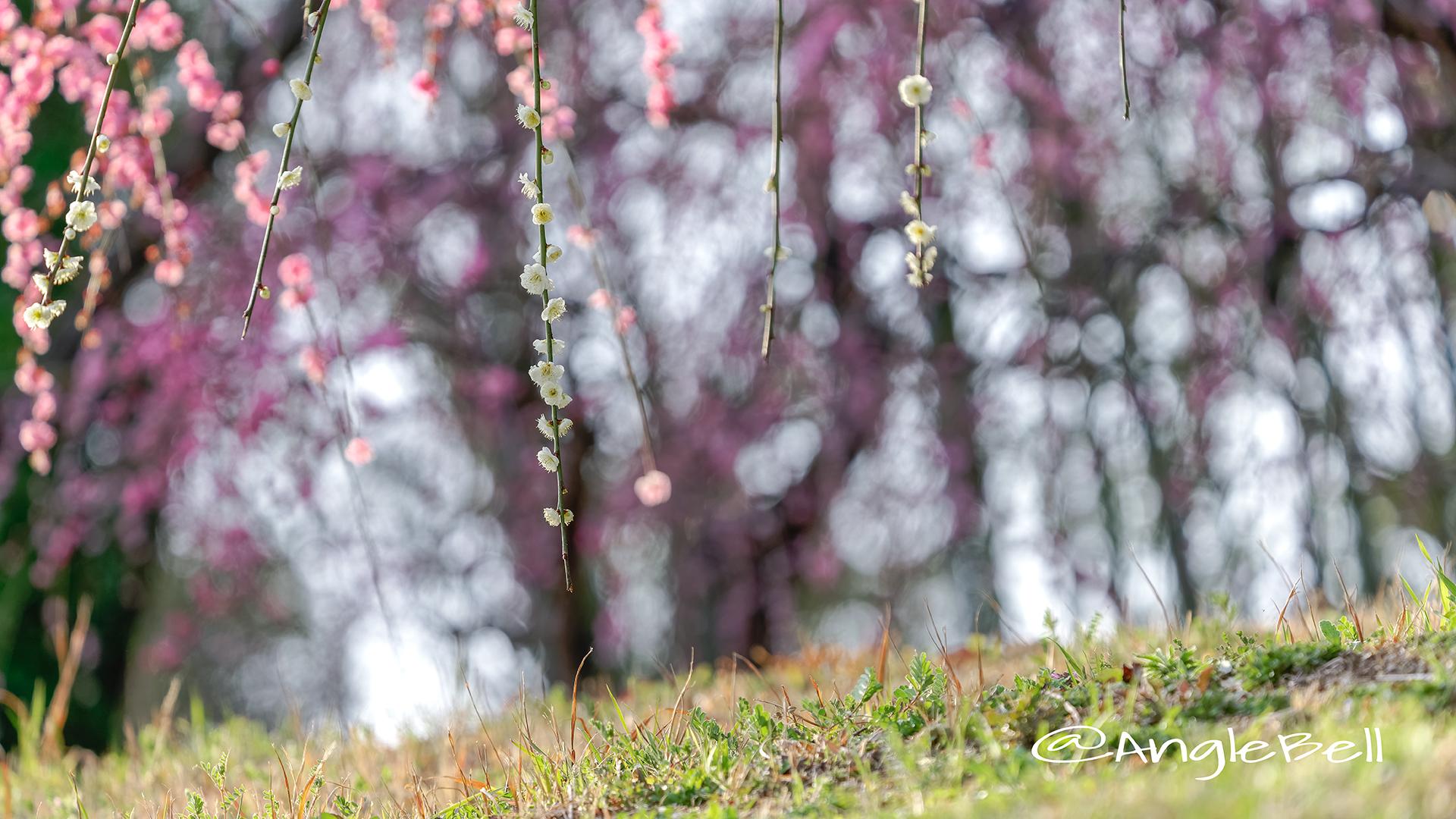 しだれ梅 Flower Photo4