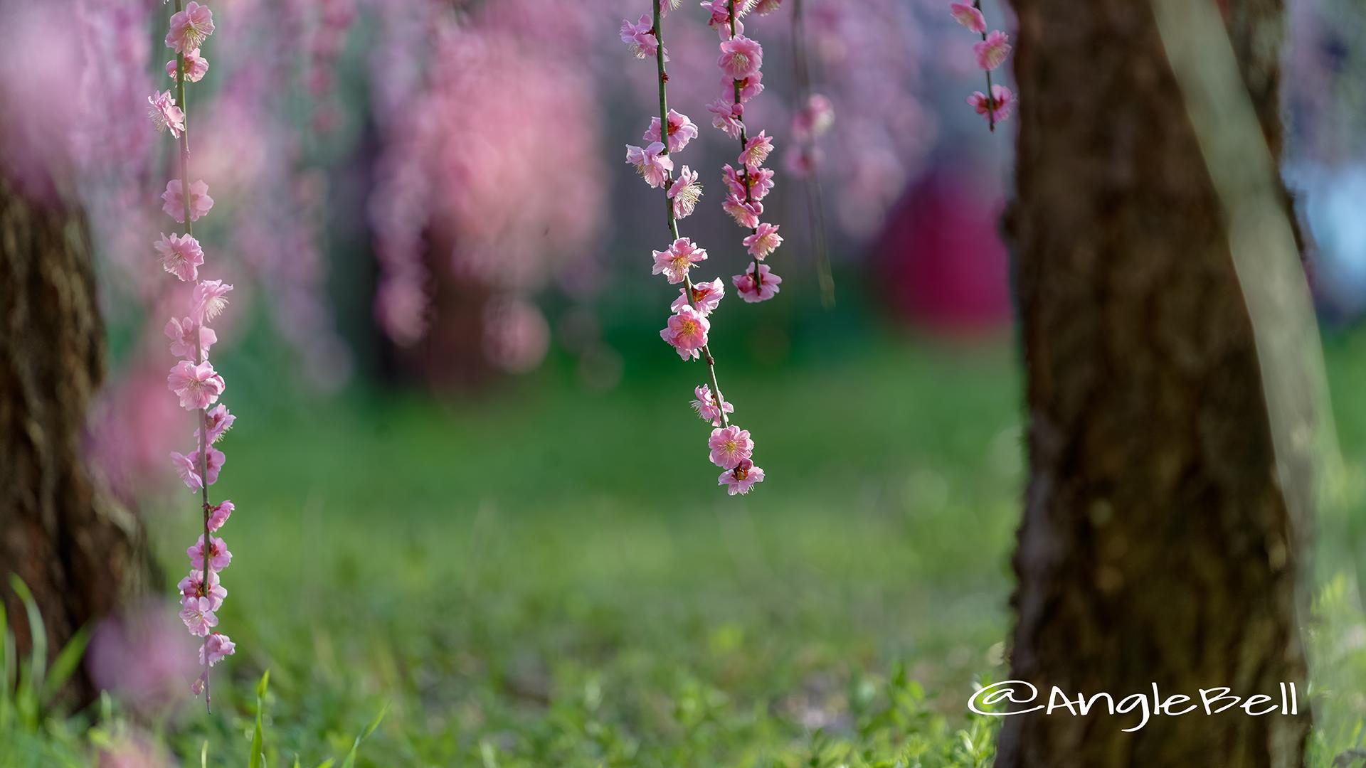 しだれ梅 Flower Photo5