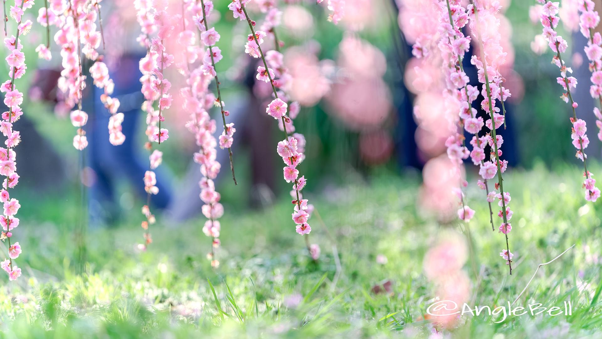しだれ梅 Flower Photo3