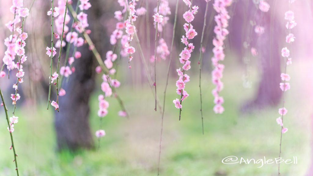 しだれ梅 Flower Photo1