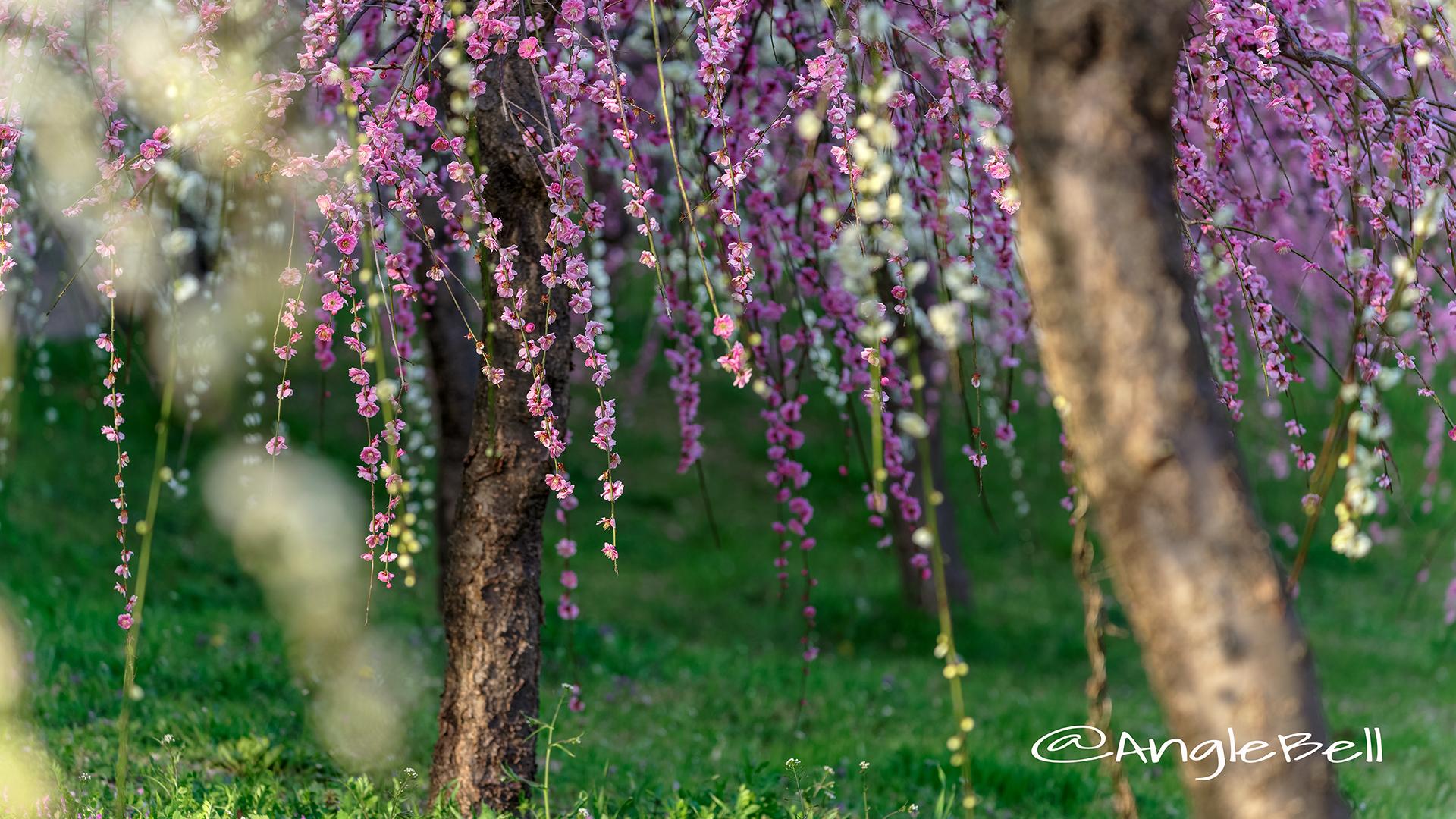 しだれ梅 Flower Photo6