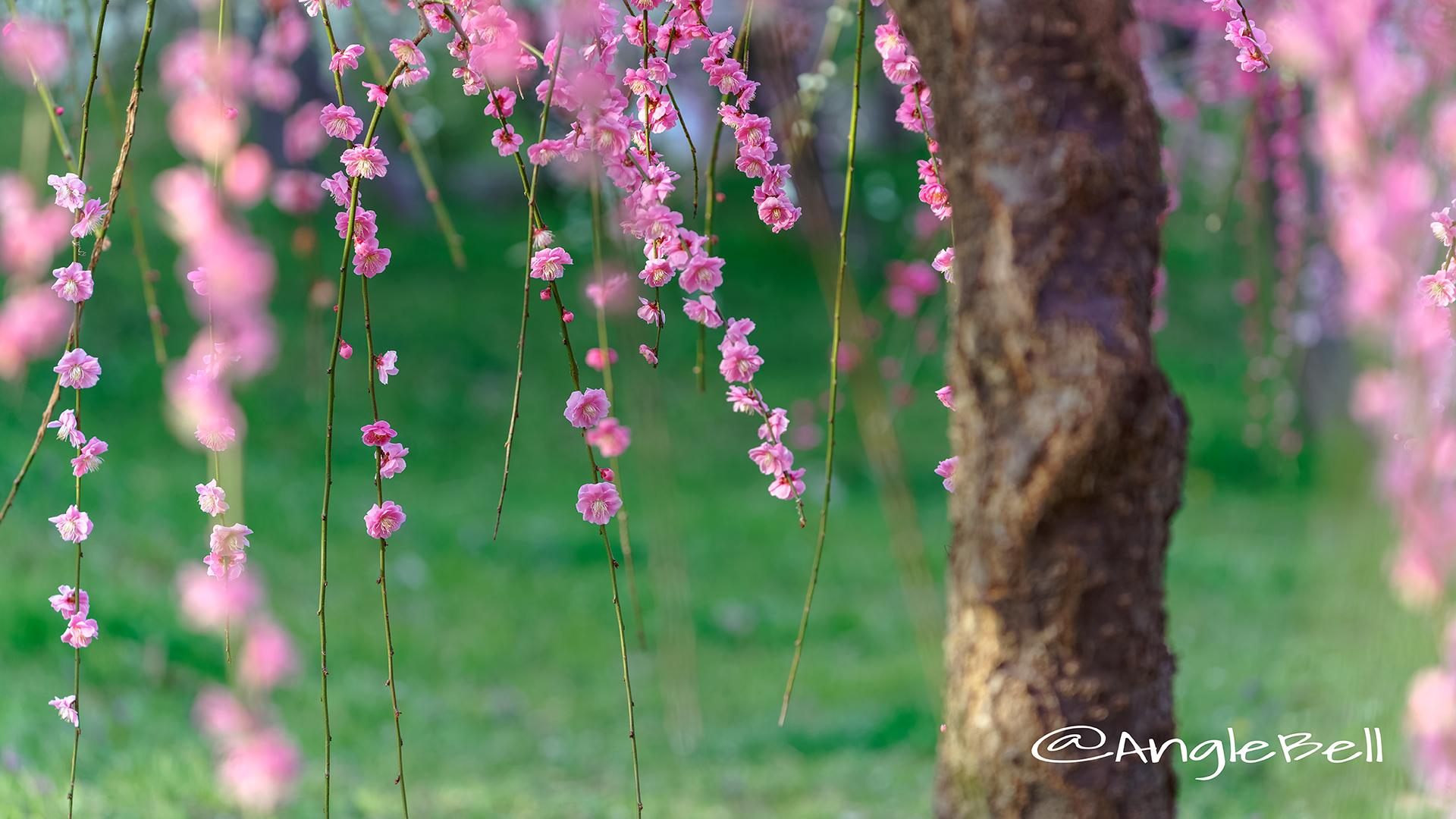 しだれ梅 Flower Photo7