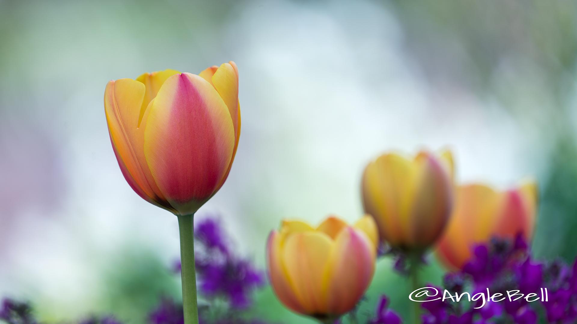 チューリップ Flower Photo8
