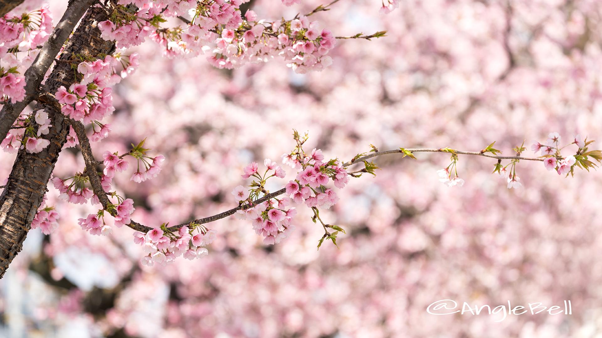 オオカンザクラ 大寒桜 Flower Photo2019_05