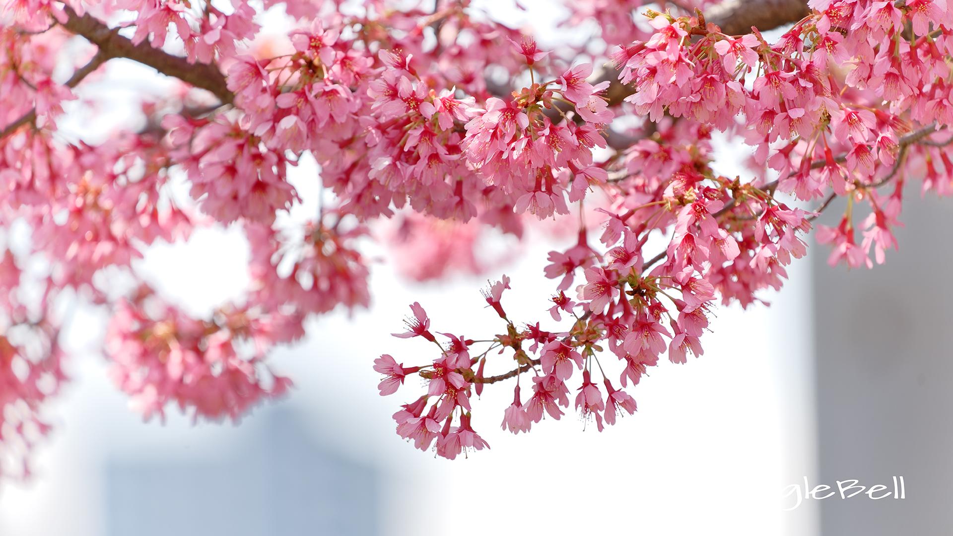 カンヒザクラ 寒緋桜 Flower Photo5