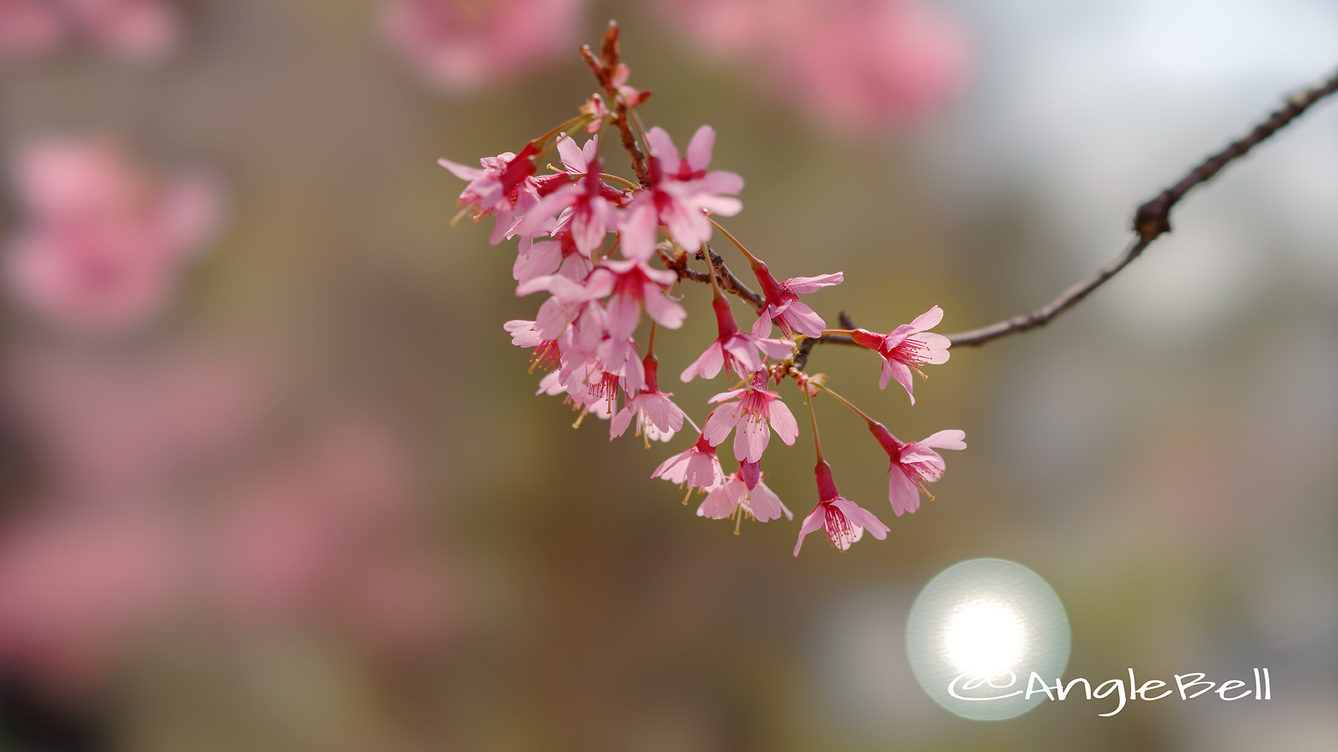 カンヒザクラ 寒緋桜 Flower Photo6
