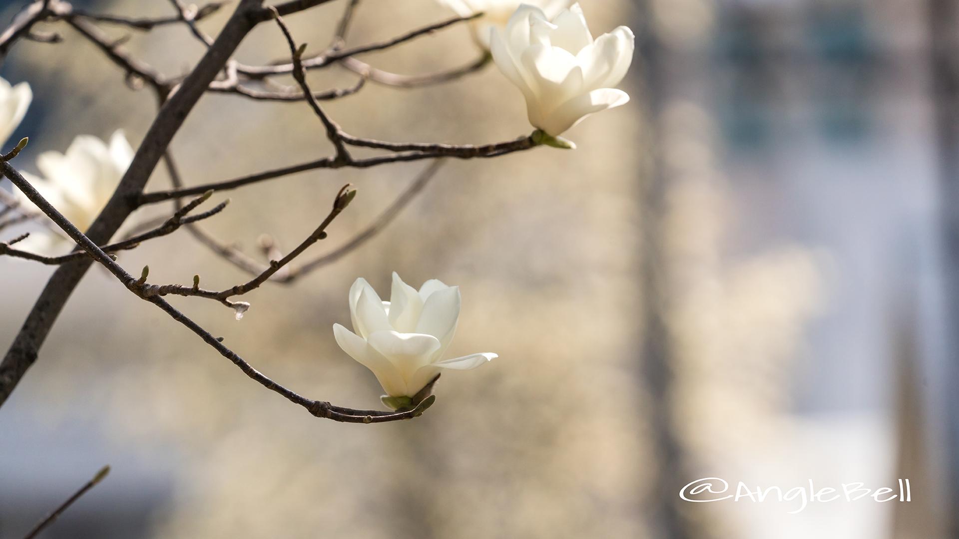 ハククレン 白木蓮 Flower Photo3
