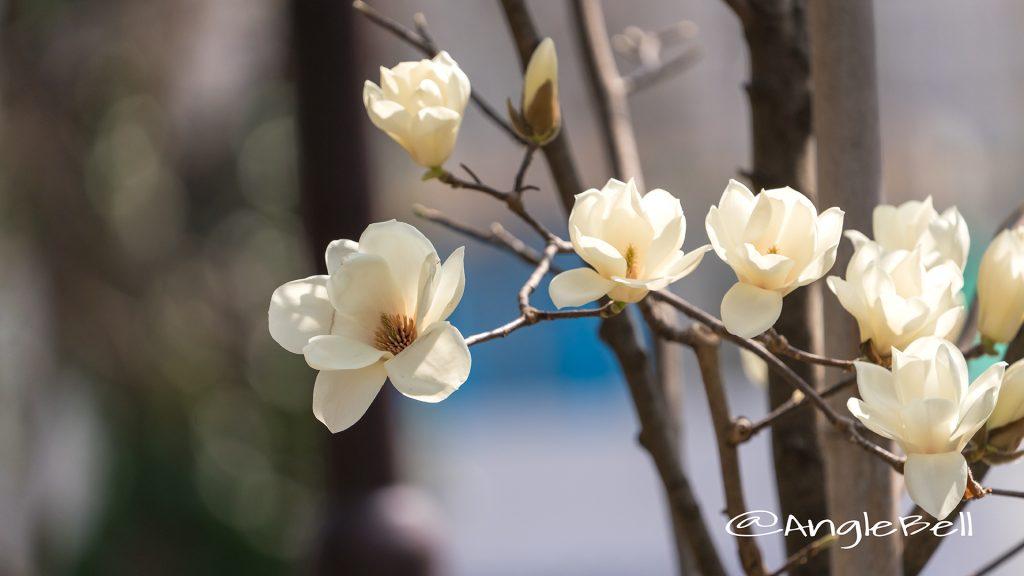 ハククレン 白木蓮 Flower Photo1