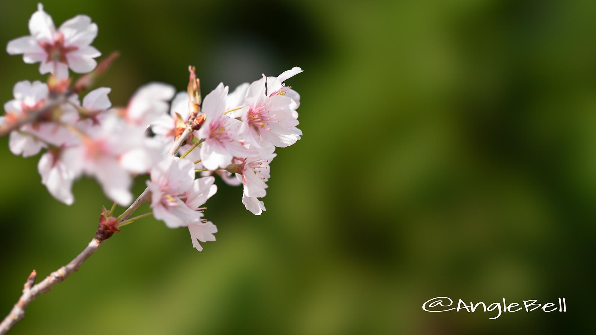 ケイオウザクラ 啓翁桜 Flower Photo3