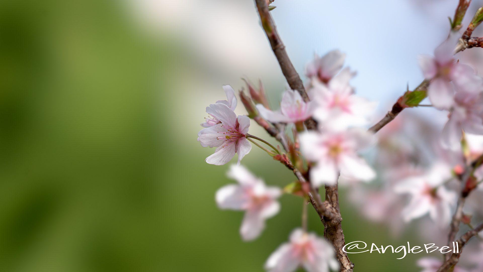 ケイオウザクラ 啓翁桜