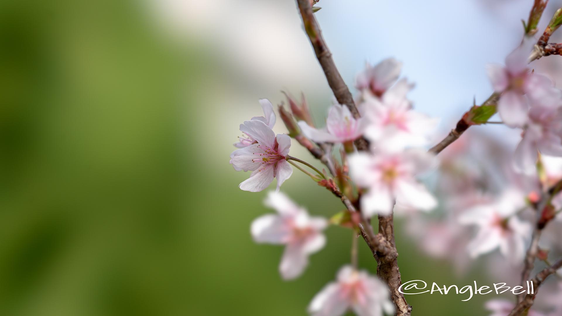ケイオウザクラ 啓翁桜 Flower Photo1