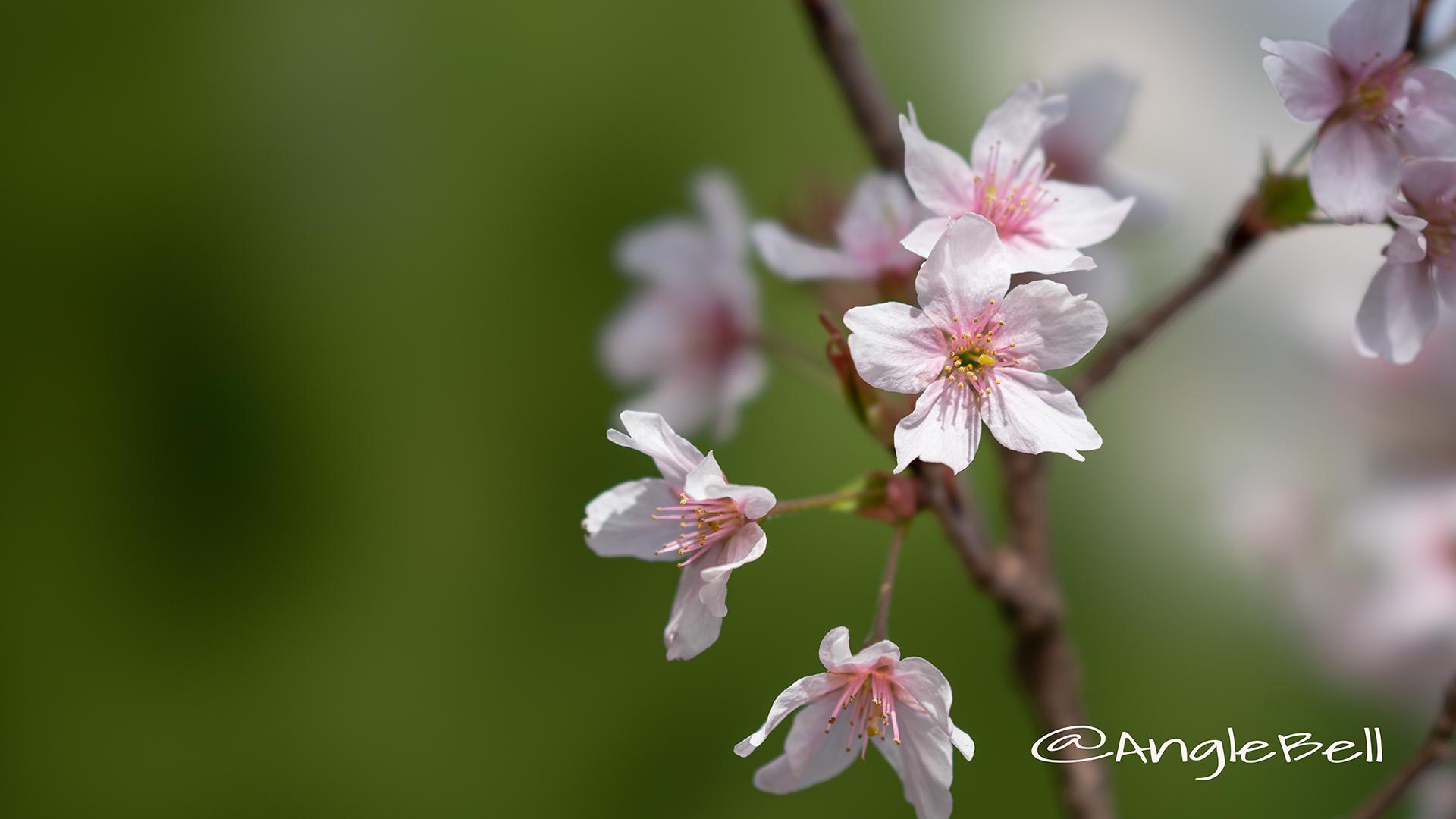 ケイオウザクラ 啓翁桜 Flower Photo2
