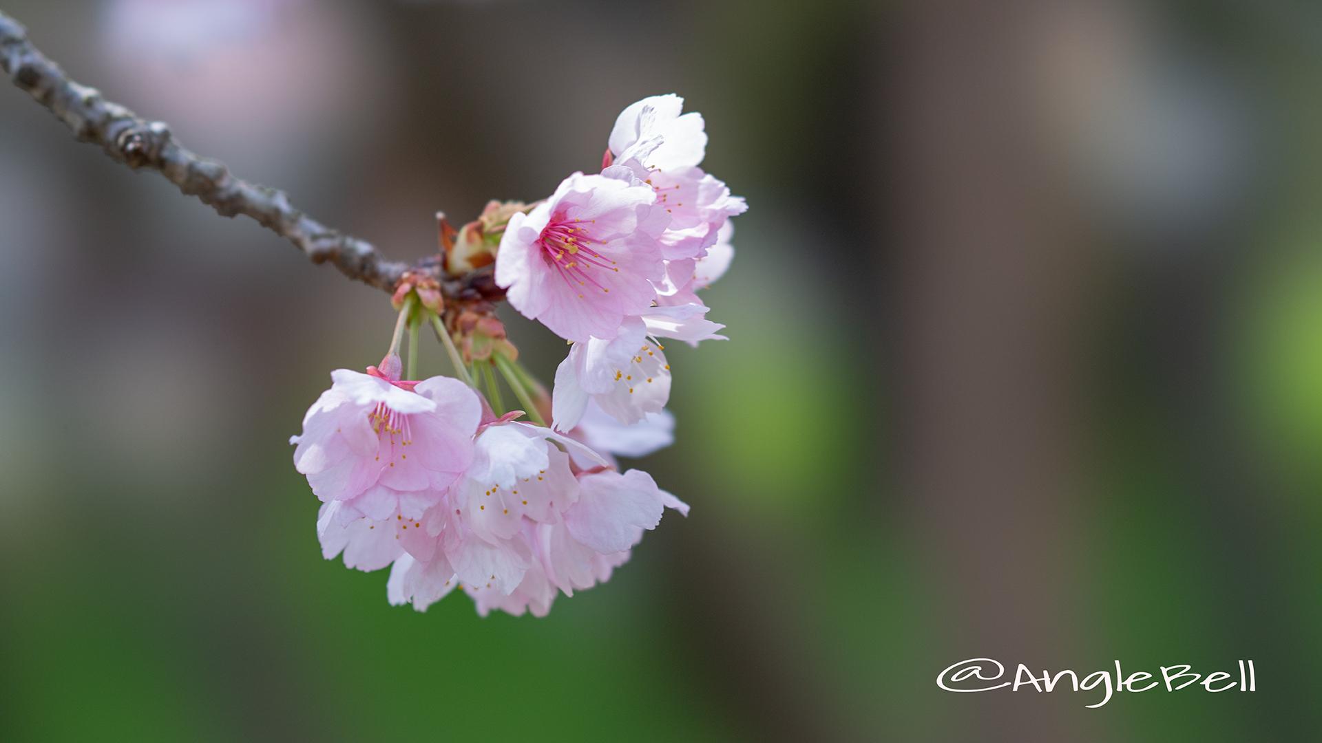 オオカンザクラ 大寒桜 Flower Photo2019_01