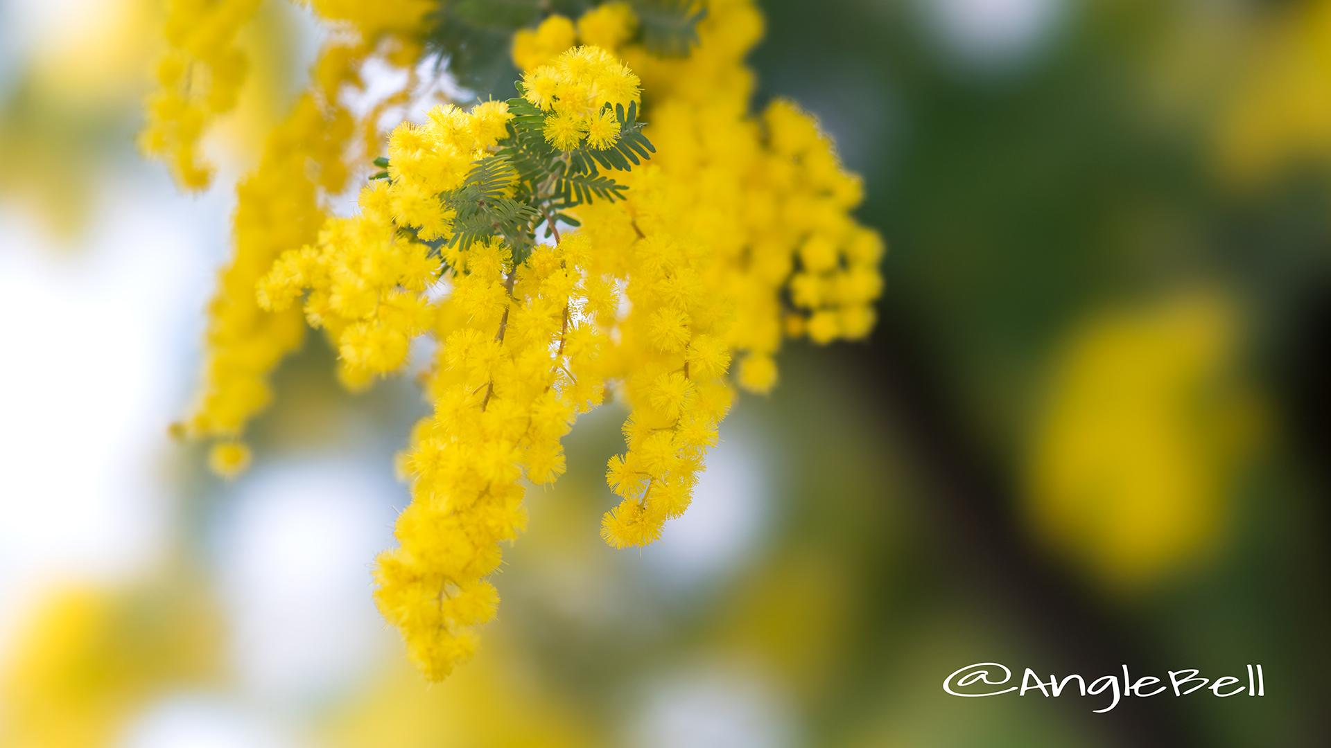 ミモザ Flower Photo7