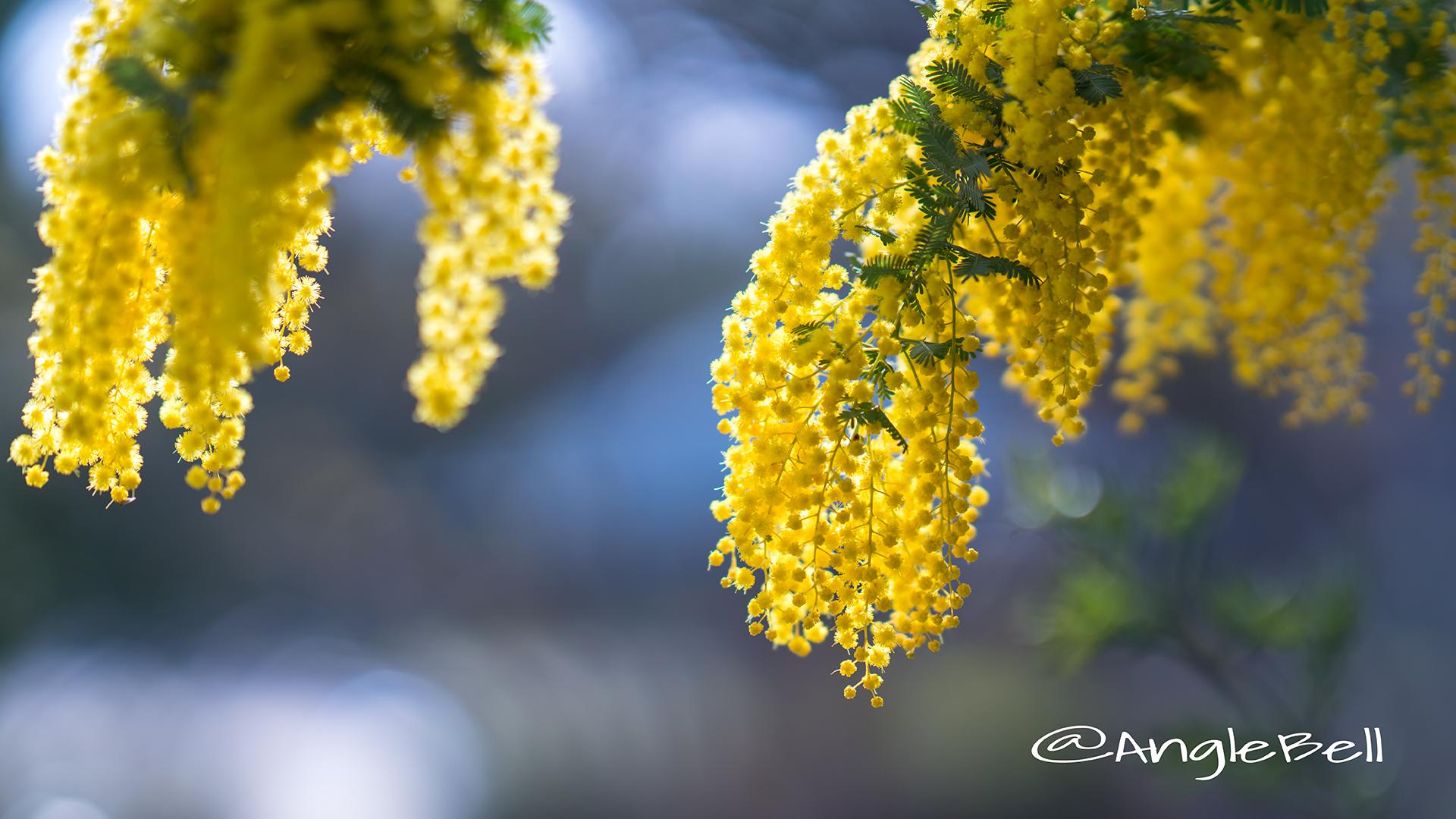 ミモザ Flower Photo10