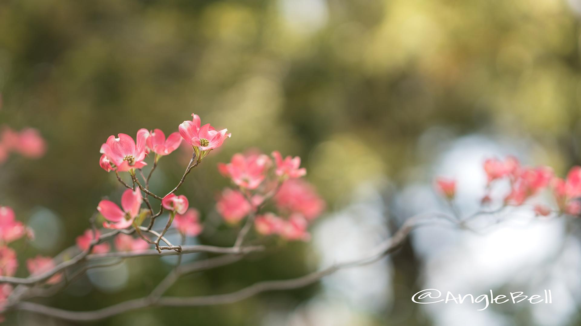 ハナミズキ 花水木 Flower Photo6