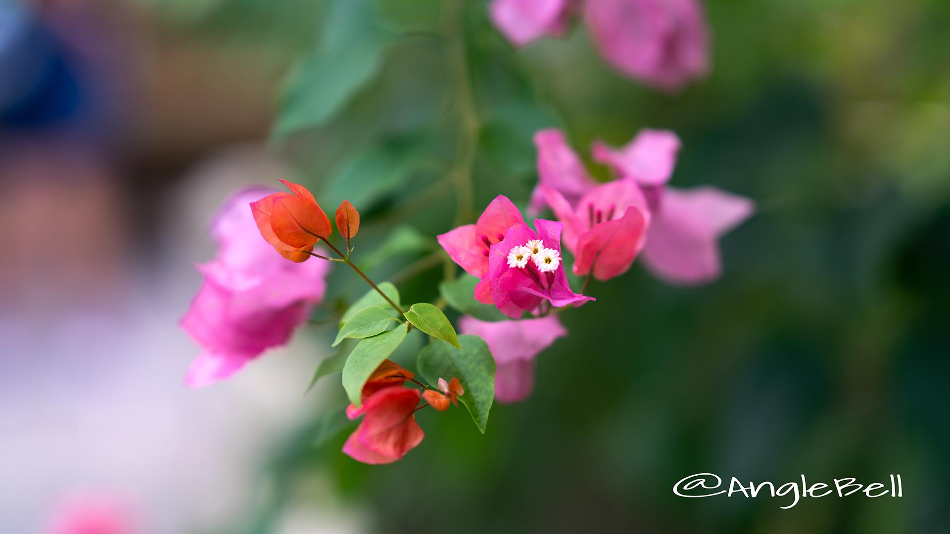ブーゲンビリア Flower Photo2