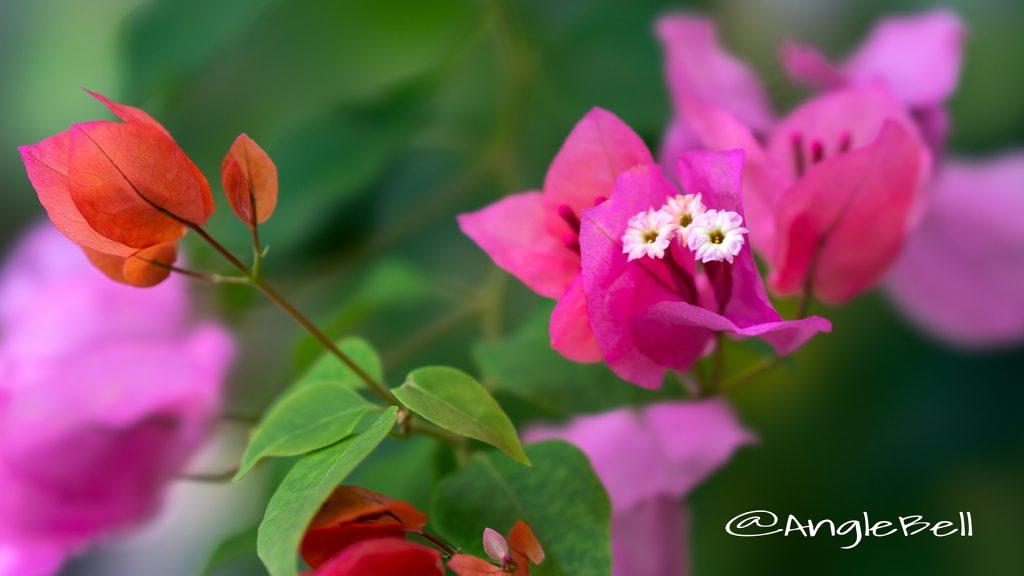 ブーゲンビリア Flower Photo1