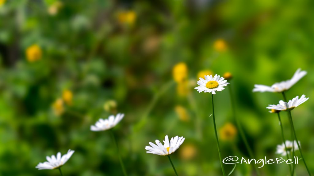 フランスギク 仏蘭西菊 Flower Photo1