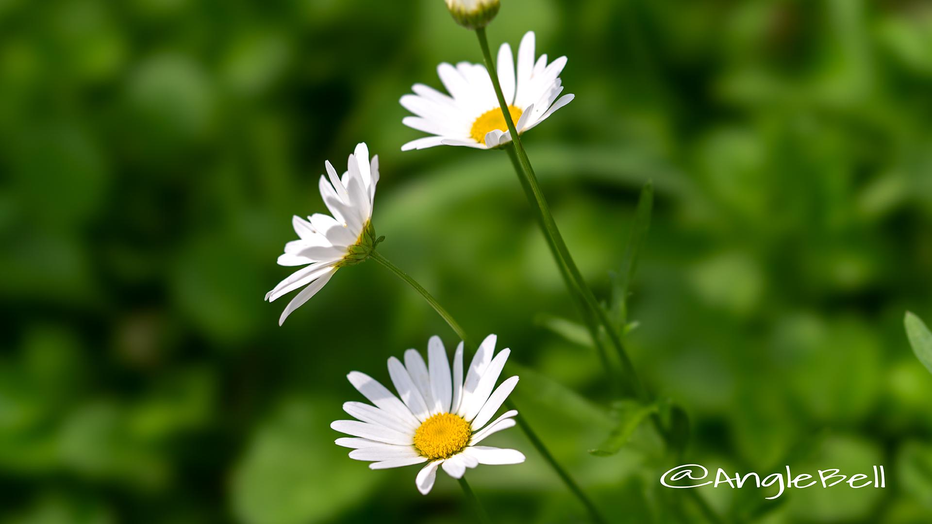 フランスギク 仏蘭西菊 Flower Photo2
