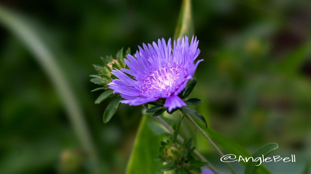 ストケシア Flower Photo1