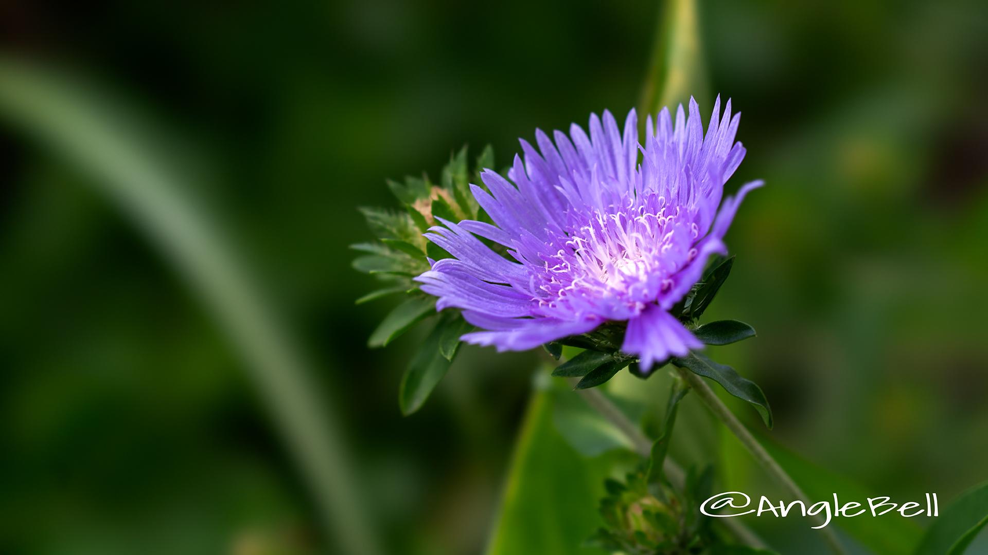 ストケシア Flower Photo2