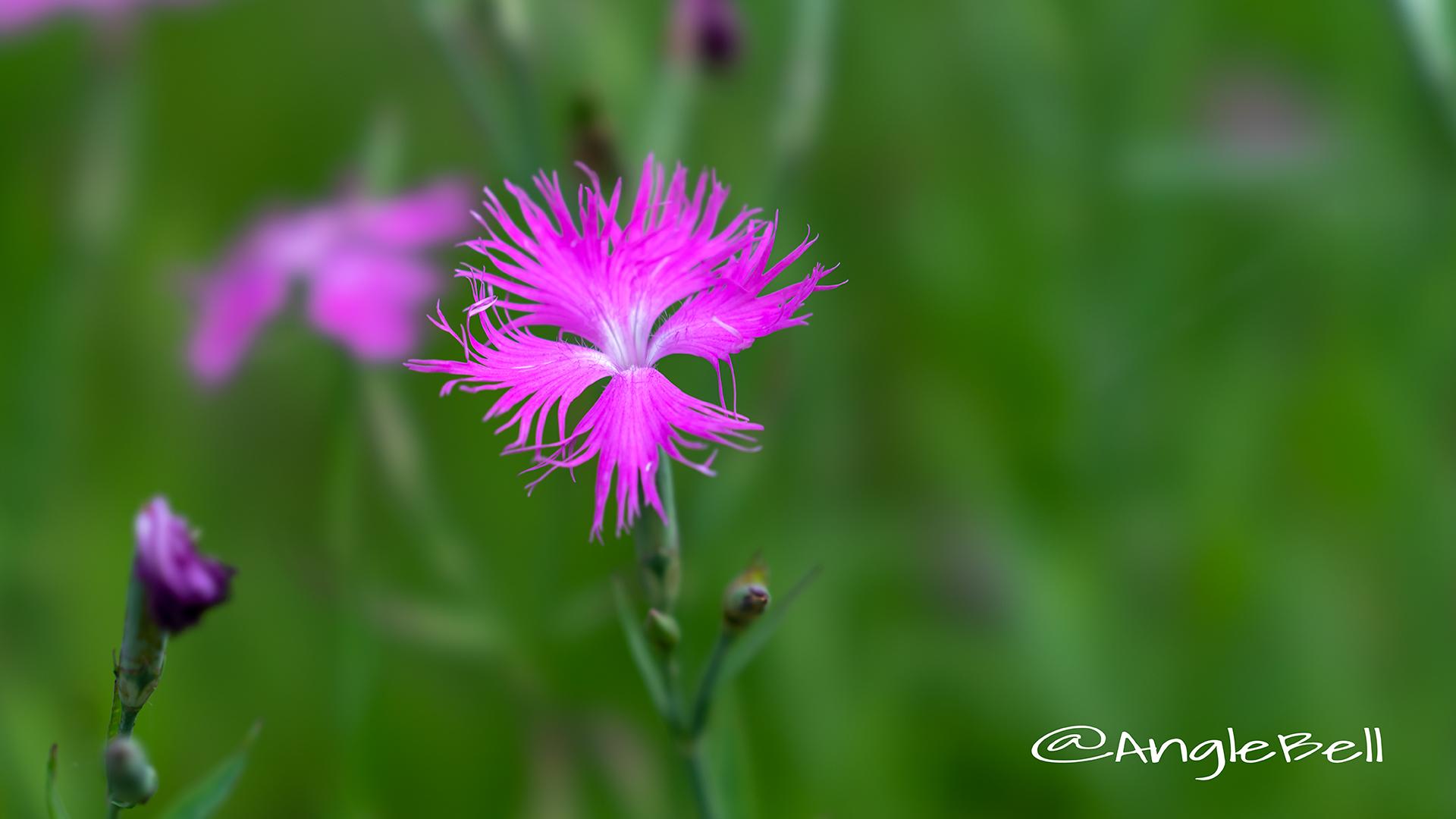 カワラナデシコ Flower Phot6