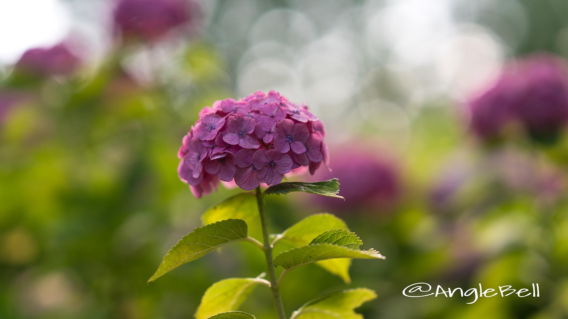 アジサイ 紫陽花 Flower Photo12