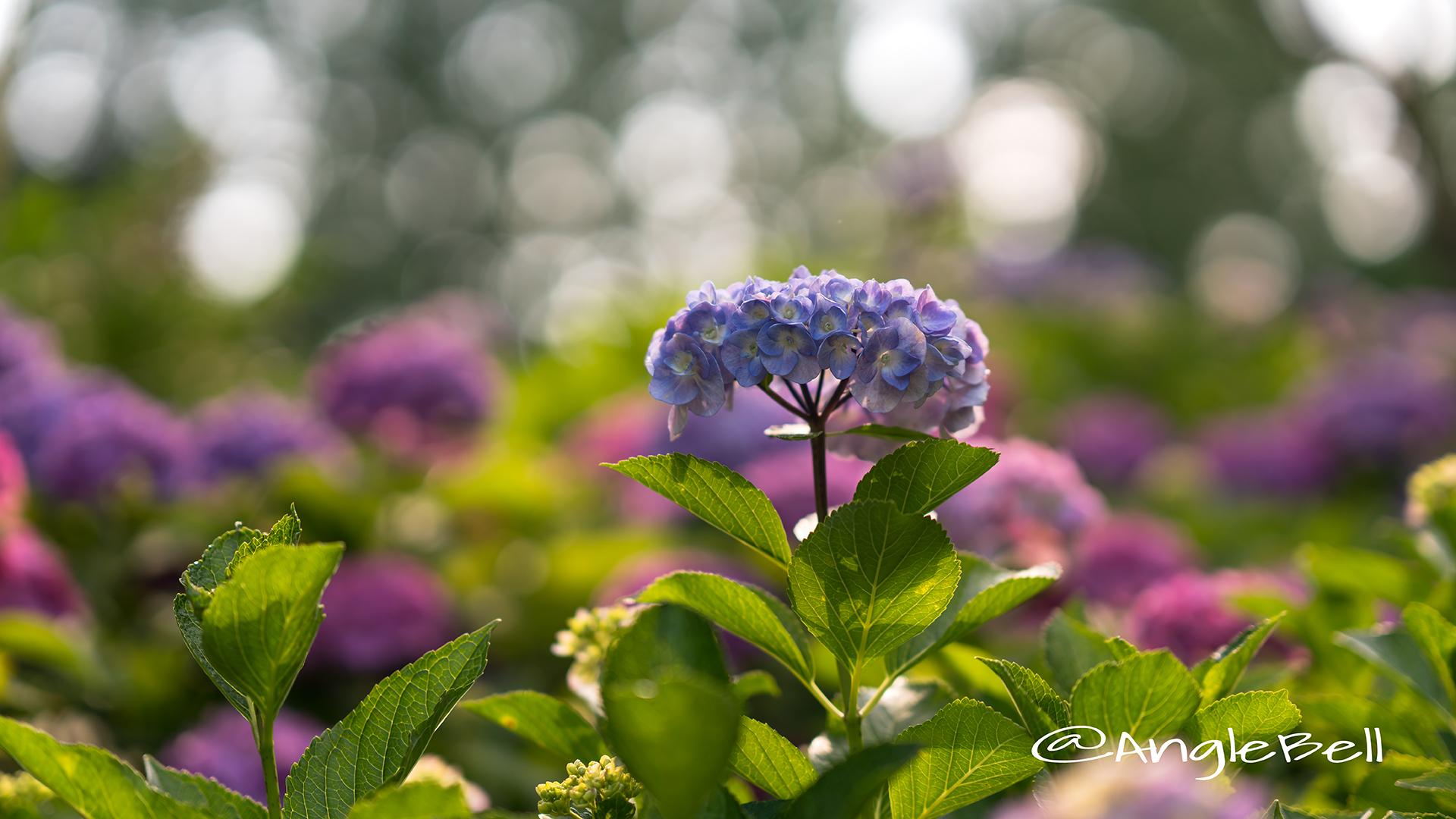 アジサイ 紫陽花 Flower Photo13